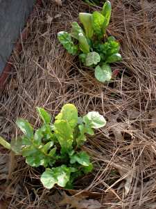 Mulch matters. And using the right mulch makes a big difference. Photo courtesy of Bonnie Plants