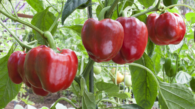Red bell pepper on plant